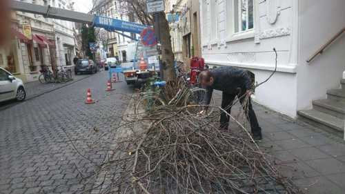 Kirschbaumschnitt Bonn Altstadt