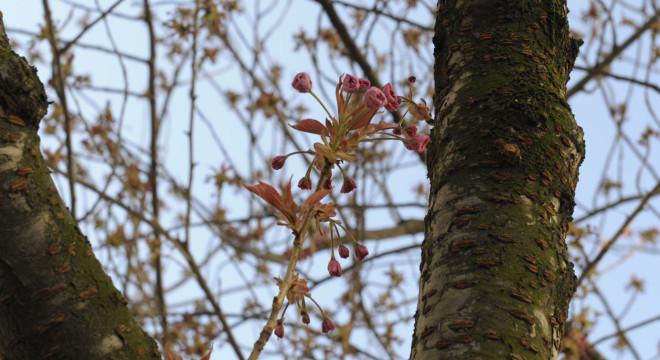 kirschblütenliveticker-Montag-11.4.16