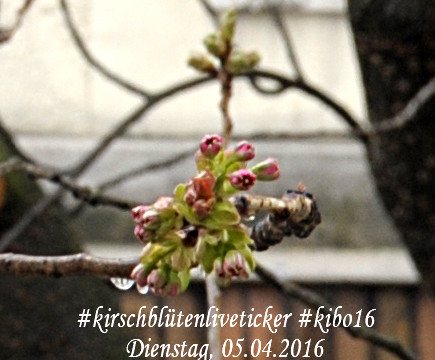 kirschblütenliveticker-bonn-5.4.16