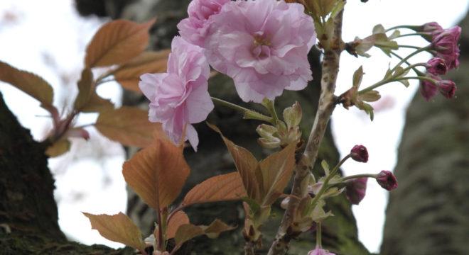 kirschblütenliveticker-donnerstag-14.4.16