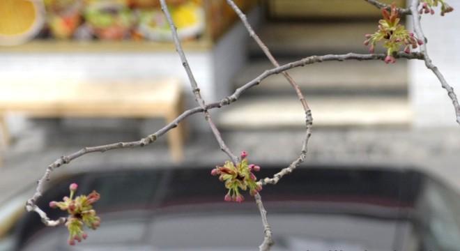 kirschblütenliveticker-printandpaint-Donnerstag-7.4.16