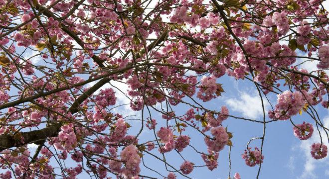 Kirschblütenliveticker -15.4.16