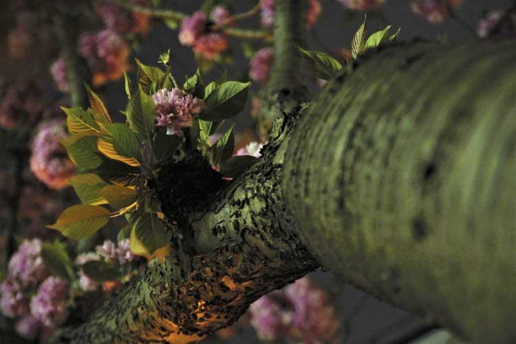 Cherry Blossoms Archive Seite 5 Von 5 Kirschbluete Bonn