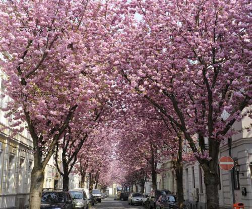 Bonn-Kirschblüte-1Kirschblüte Bonn Heerstraße Altstadt Blüte 324