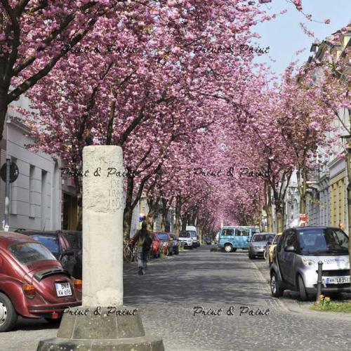 Bonn-Kirschblüte-6600