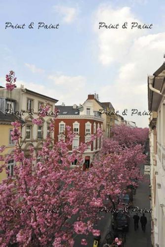 Bonn-Kirschblüte-6661