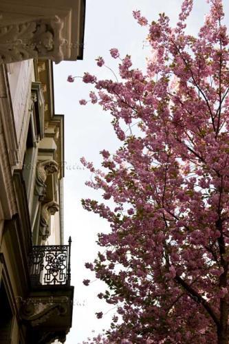 Kirschbluete-Bonn-printandpaint-5479a