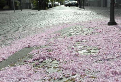 Kirschbluete-Bonn-printandpaint-5664